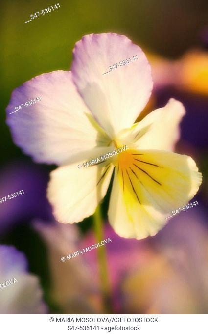 Pansy Flower. Viola x wittrockiana, Maryland, USA