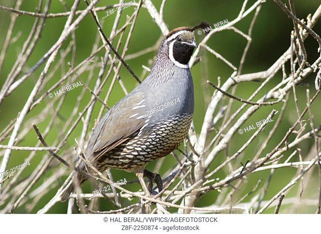 California Quail -male c.(Callipepla californica).Irvine,California