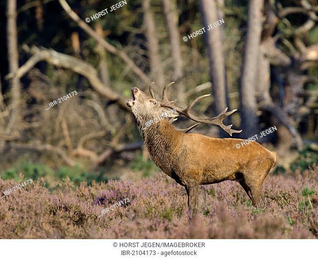Roaring Red deer (Cervus elaphus), stag, Hoge Veluwe National Park, The Netherlands, Europe