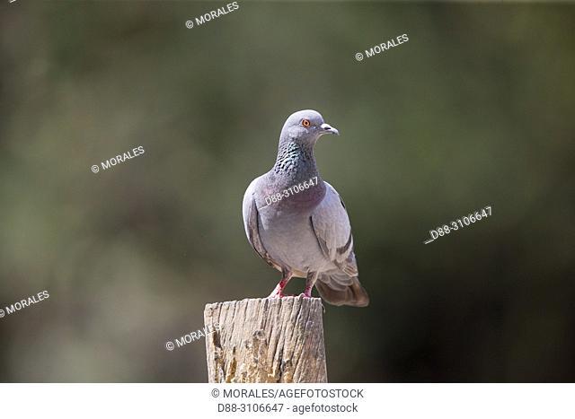Asia, India, Uttarakhand, Jim Corbett National Park, . Rock dove or rock pigeon (Columba livia), adult