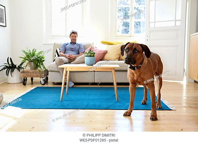 Rhodesian ridgeback standing in living room, man siting on couch in background