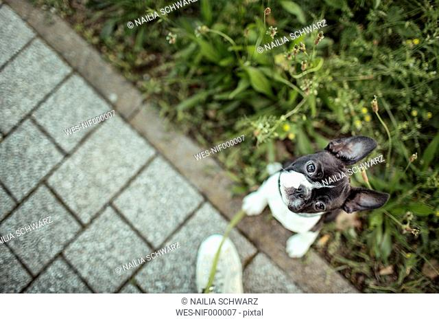 Germany, Rhineland-Palatinate, Boston Terrier, Puppy sitting on meadow