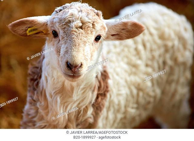Newborn lambs  Sheep farm  Latxa breed  Gomiztegi Baserria, Arantzazu, Oñati, Gipuzkoa, Basque Country, Spain