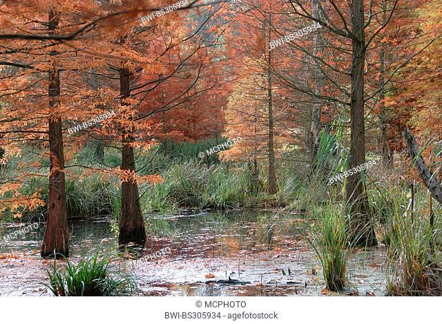 baldcypress (Taxodium distichum), in a lake in a pond