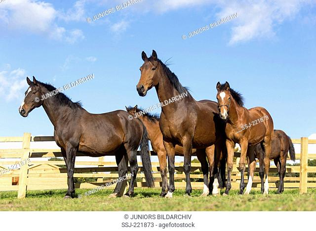 Dutch Warmblood. Mares with foals on a pasture. Great Britain