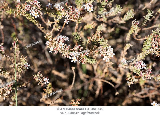 Tomillo sapero (Frankenia corymbosa) is a small shrub native to southeastern Spain and north Africa. This photo was taken in Cabo de Gata Natural Park