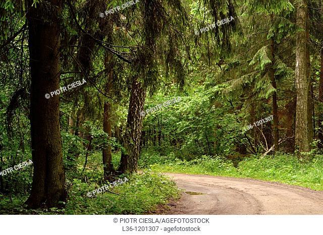 Knyszynska Forest Puszcza Knyszynska to the east of Bialystok Podlasie region