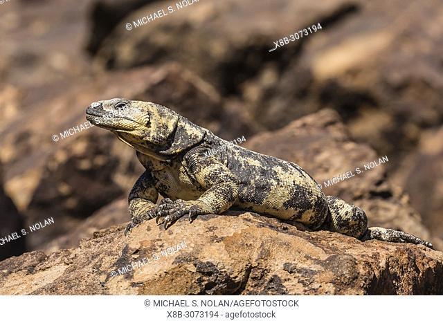 The endemic San Esteban chuckwalla, Sauromalus varius, Isla San Esteban, Baja California, Mexico