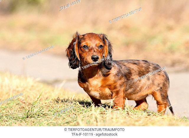 american teckel puppy