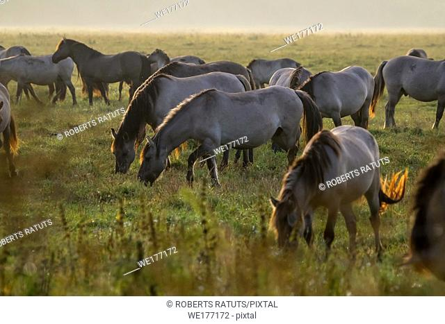Herd of horses grazing in a meadow in the mist. Horses in a foggy meadow in autumn. Horses and foggy morning in Kemeri National Park, Latvia