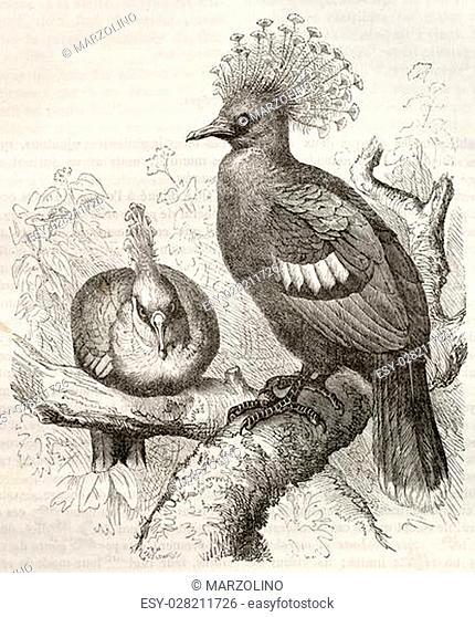 Victoria Crowned Pigeon old illustration (Goura victoria). Created by Kretschmer and Schmid, published on Merveilles de la Nature, Bailliere et fils, Paris, ca