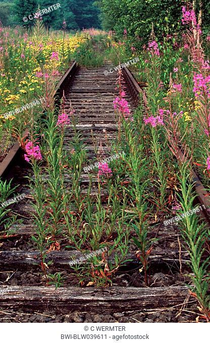 fireweed, blooming sally, rosebay willow-herb, great willow-herb Epilobium angustifolium, Chamaenerion angustifolium, disused track, Germany