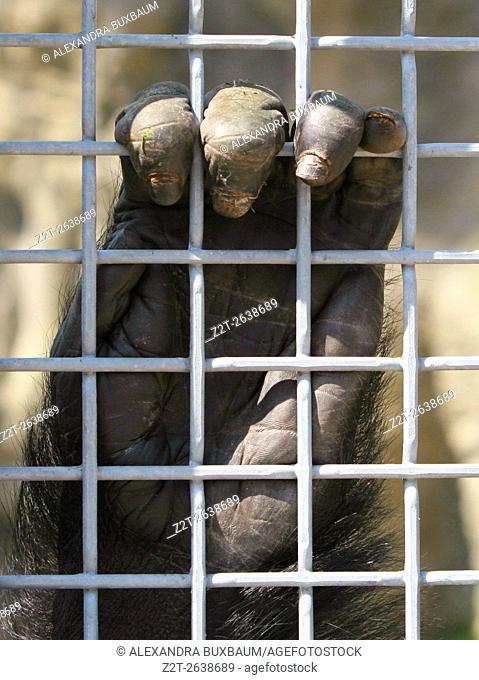 A gorilla clasps the bars of his enclosure