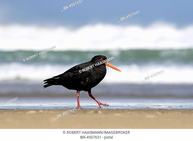 Variable oystercatcher (Haematopus unicolor) on the beach, Cannibal Bay, Catlins, Southland, New Zealand