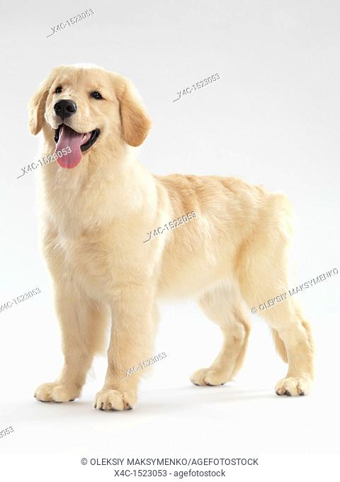 Portrait of a Golden Retriever 4 month old puppy isolated on white background