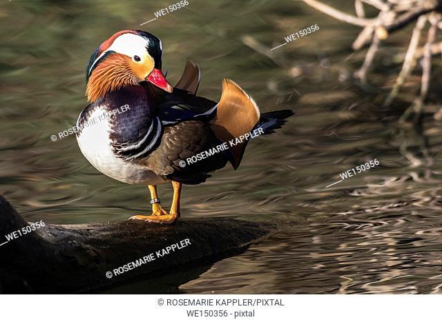 A mandarin duck in the water of river Saar in Saarlouis/Germany