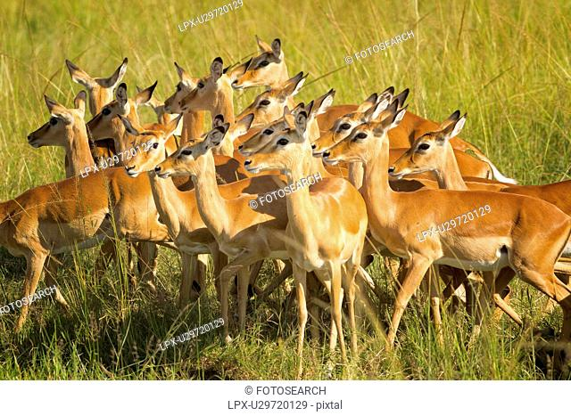 Close up view of group of female impalas standing in soft evening light, all heads turned in same direction, Maasai Mara, Kenya