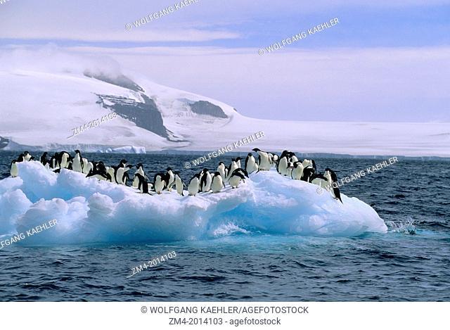 ANTARCTICA, PAULET ISLAND, ADELIE PENGUINS ON ICEBERG / ICEFLOE