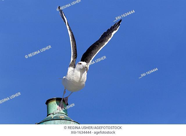 Black-backed Seagull Larus fucus, in Take-off Flight, Gillelije Harbour, Sjaelland, Denmark