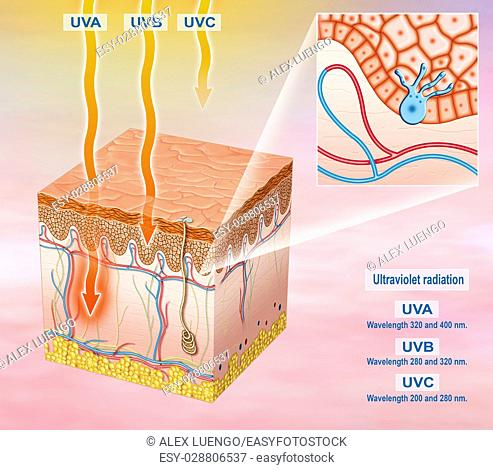 Illustration of the segment of the exposed skin to sunlight and solar UVA, UVB, UVC