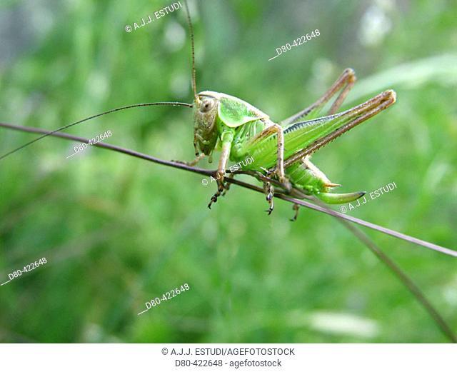 Grasshopper (Tettigonia viridissima)