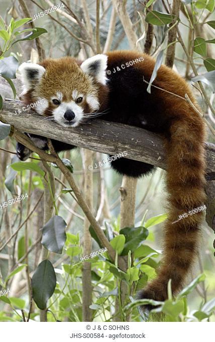 Red Panda Ailurus fulgens fulgens Asia