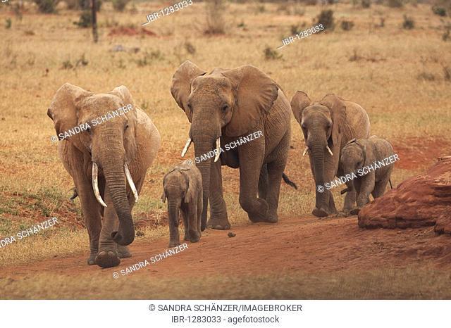 African Bush Elephants (Loxodonta africana), Tsavo West National Park, Kenya, Africa