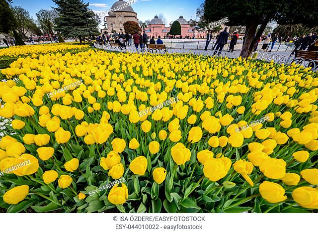 Traditional tulip Festival in Sultanahmet Square Park with view of Sultan Ahmet Mosque(Blue Mosque)on background and colorful tulips on foreground