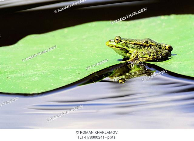 Frog sitting on wet leaf of water lily