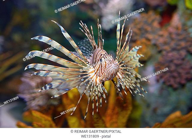 Head on view of Pterois volitans or red lionfish with venomous spiky fin rays in an aquarium