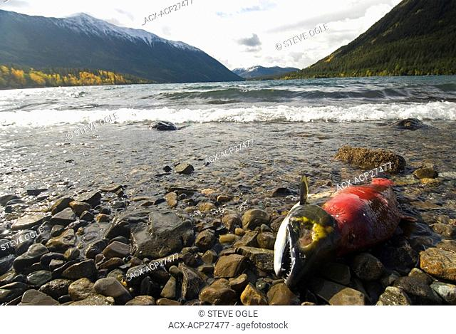 A post-spawning sockeye salmon on the shores of Chilko Lake, British Columbia, Canada