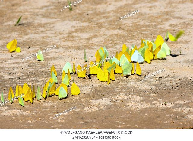 Yellow and lime-green butterflies licking up minerals on a beach of the Cuiaba River near Porto Jofre in the northern Pantanal, Mato Grosso province in Brazil