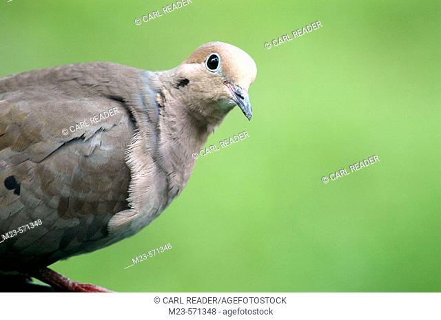 A closeup of a mourning dove (zenaida macroura), Pennsylvania, USA