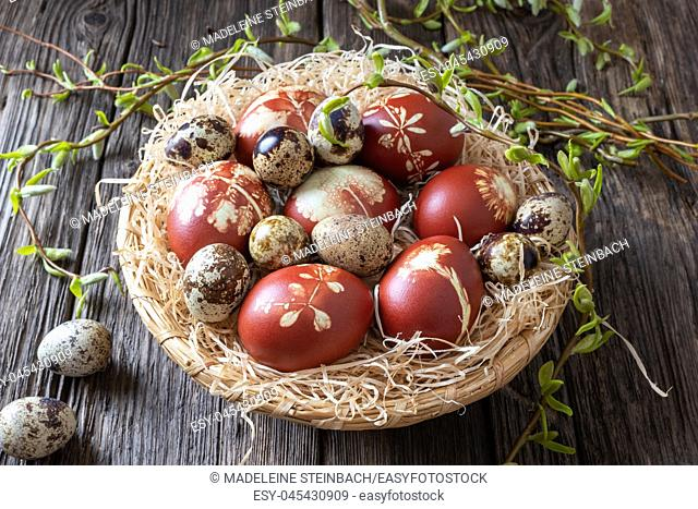 Quail and Easter eggs dyed with onion peels with a pattern of fresh herbs in a wicker basket