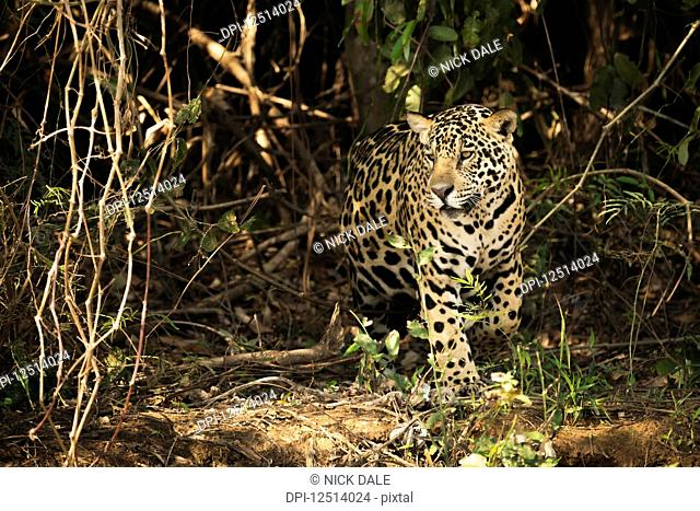 A Jaguar (Panthera onca) is prowling through dense forest in Brazil. It has a yellowish-brown coat with black spots and golden brown eyes