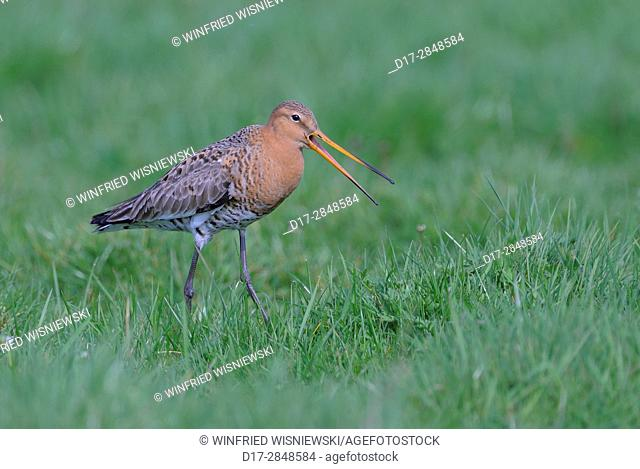 Black-tailed godwit (Limosa limosa) in a meadow
