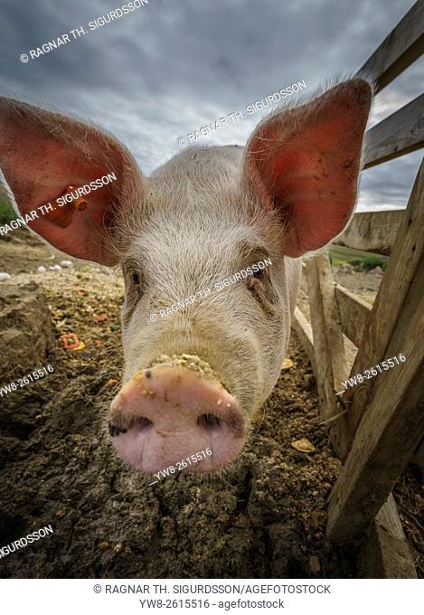 Pig, Iceland