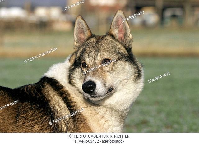 Westsiberian Laika Portrait