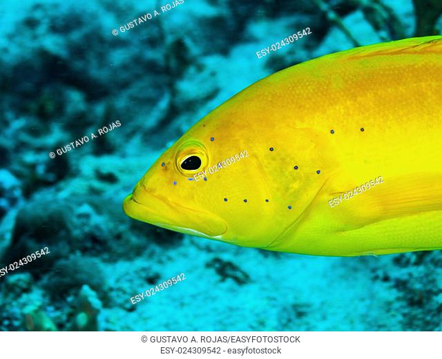 EPINEPHELUS FULVUS, Los Roques, Venezuela phase coloration bright yellow with some blue spots