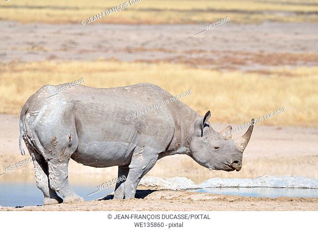 Black rhinoceros (Diceros bicornis), adult male at a waterhole, Etosha National Park, Namibia, Africa