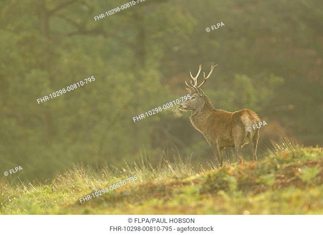 Red Deer Cervus elaphus stag, breath condensing in cold air, during rutting season, Bradgate Park, Leicestershire, England, november