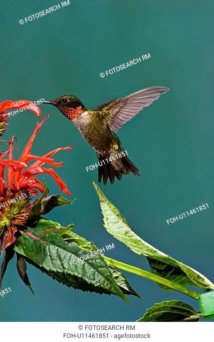 archilocus colubris nectariing bee balm oswego