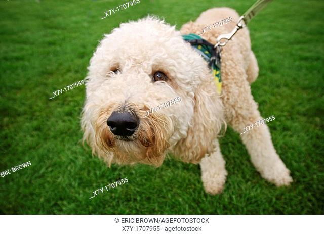 A white dog pulls on a leash on a lawn