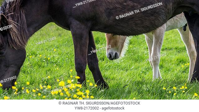 Mare and new born foal grazing, Iceland