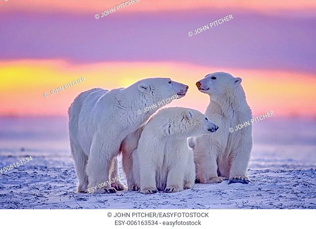 Polar bear family in Arctic sunset