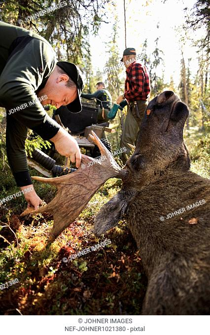 Man examining dead moose in forest