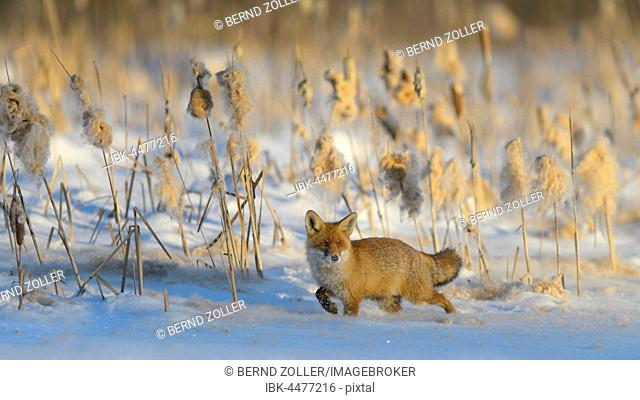 Red fox (Vulpes vulpes) walking through the snow in front of reeds, on a frozen lake, reeds with seed pods, Sumava, Czech Republic