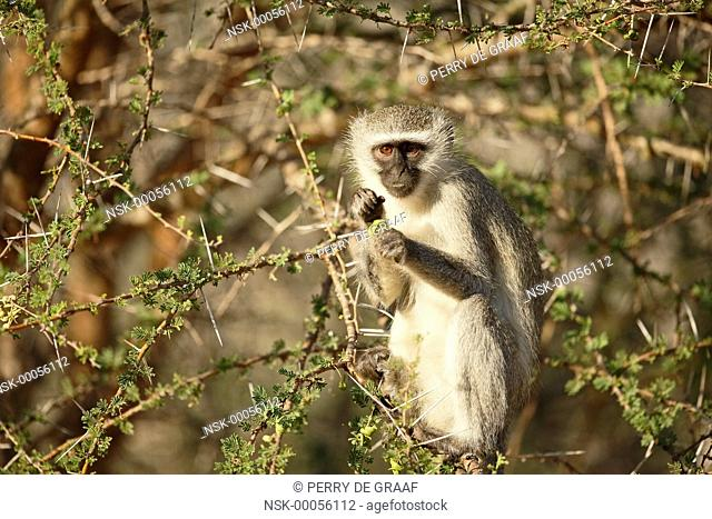 Vervet Monkey (Chlorocebus pygerythrus) sitting in a tree and eating vegetation, South Africa, Mpumalanga, Kruger National Park