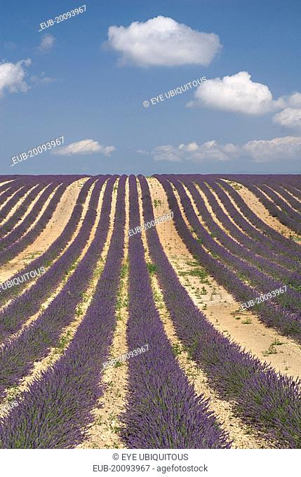 Rows of lavender following slope of field to the horizon in major growing area near town of Valensole with white clouds in blue sky above