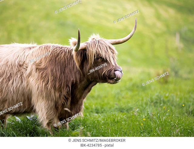Highland cattle (Bos taurus), Bergisches Land or Land of Berg, North Rhine-Westphalia, Germany